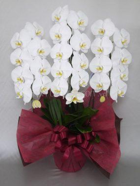 HoalanSaigon.vnchuyên phân phối sỉ và lẻ sản phẩm hoa lan hồ điệp