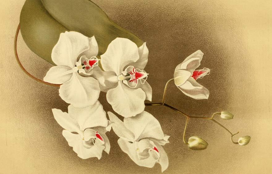 Vẻ đẹp lan hồ điệp trong bức họa cổ